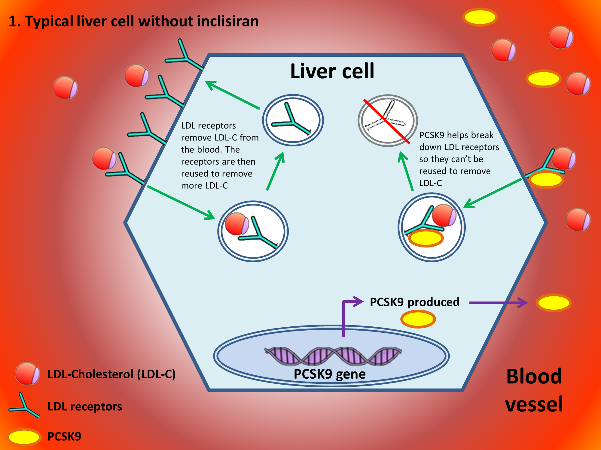 PCSK9 and Inclisiran action diagram 1of2.JPG